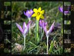 Bulbes du printemps: les plus belles associations
