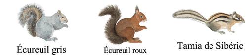 Ne pas confondre l'écureuil roux avec l'écureuil gris ou le Tamia de Sibérie