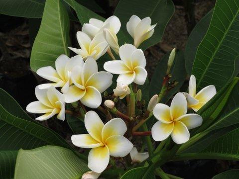 frangipanier un arbuste exotique pour l 39 int rieur