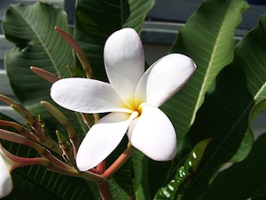 frangipanier fleur