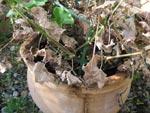 Géraniums : sortie d'hivernage