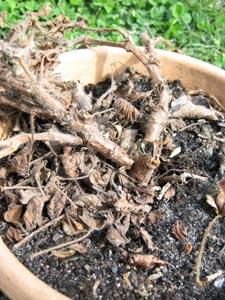 Géranium (pelargonium) gelé