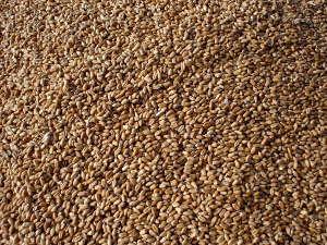 Semences de blé