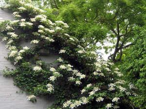 plantes grimpantes achat plantation entretien. Black Bedroom Furniture Sets. Home Design Ideas