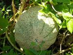 Semer les melons