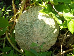 Melon prêt à être récolté