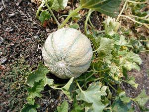 Melon au potager