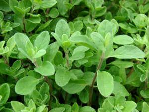 feuilles de marjolaine