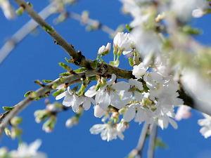 Prunus incisa 'Frilly Frock'