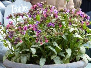 Pulmonaria saccharata 'Silver Bouquet'