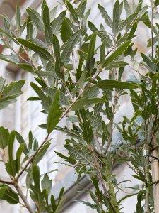 Quercus x hispanica 'Waasland Select'