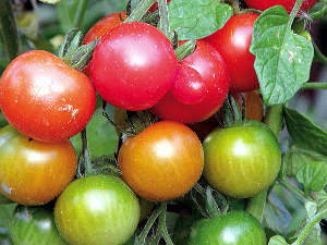 Tomates anciennes et méconnues