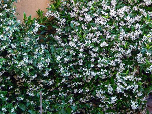 Trachelospermum jasminoïdes, le faux jasmin (Grimpantes : beautés exubérantes)