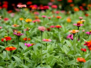 Les annuelles fleurissent quelques semaines après le semis.