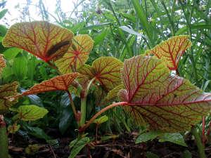 Envers des feuilles de Begonia grandis