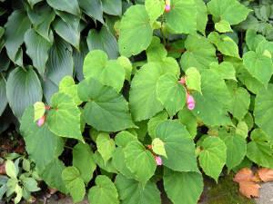 Begonia grandis : il résiste au froid. Comment le cultiver.