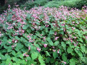 Begonia grandis en sous-bois