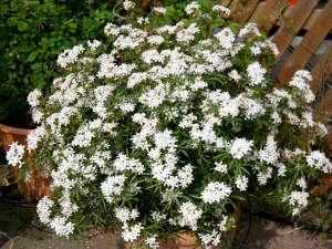 Choisya 'White Dazzler' en pot