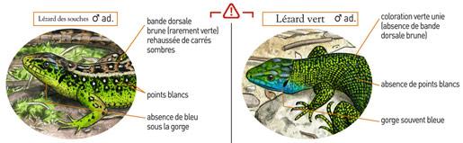 Lézard des souches et lézard vert : différences morphologiques