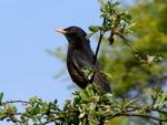 Comptage des oiseaux de jardin, les 25 et 26 mai