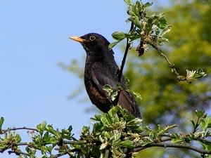 Comptage des oiseaux de jardin 25 et 26 mai 2013