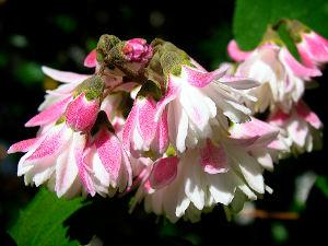Deutzia à fleurs roses