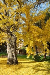 Ginkgo biloba : vieux sujet à l'automne