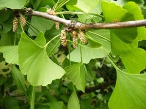 Ginkgo biloba : feuilles et inflorescences mâles