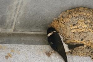 Hirondelle de fenêtre et son nid
