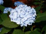 Hortensia 'France Bleu'