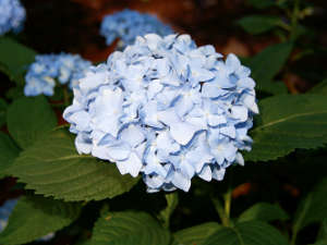 Hydrangea macrophylla 'France Bleu', un hortensia pour tous