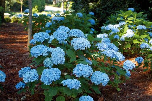 Hydrangea macrophylla 'France Bleu'