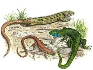 Lézard vert occidental : femelle, juvénile, mâle
