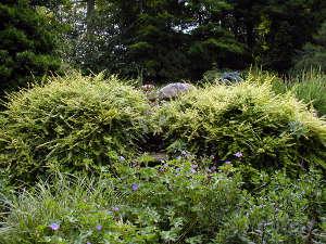 Lonicera nitida au jardin