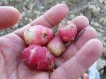 Oca du Pérou : plantation, culture et récolte