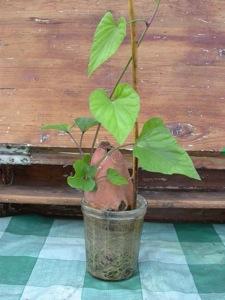 Faire germer une patate douce dans l 39 eau - Comment planter des patates ...