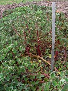 Plants d'ocas du Pérou