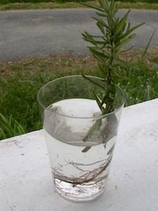 Apparition des racines dans l'eau