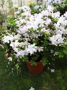Rhododendron en gros pot