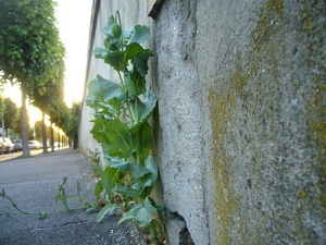Plante sauvage - Trottoir