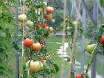 La culture des tomates sous serre froide