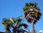 Trachycarpus, des palmiers qui résistent au froid