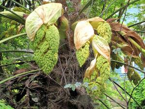 Fleurs de Trachycarpus