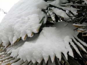 almes de Trachycarpus sous la naige