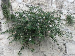 Caprier poussant dans un mur
