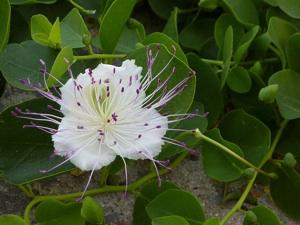 Capparis spinosa (câprier) - Fleur et feuillage
