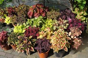 Coleus culture et soins for Plante exterieur hiver