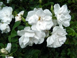 'Blanc Double de Courbet'