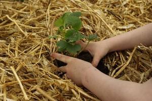 Enfant - Plantation fraisier