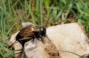 Grillon champêtre, autres grillons et insectes qui stridulent